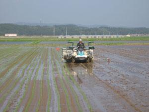 無農薬米の田植え
