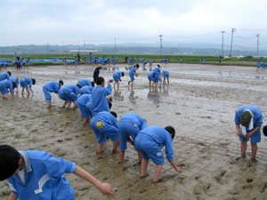 無農薬米の田植え体験学習