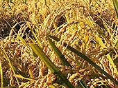 無農薬米ひとめぼれ放射能不検出